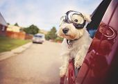 west highland white terrier with goggles on riding in a car with the window down through an urban ci poster
