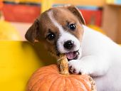 puppy and dog food , gnaws pumpkin puppy poster