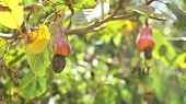 Cashew Fruits With Nut Anacardium Occidentale Growing On A Tree.cashew Nuts Growing On A Tree This E poster