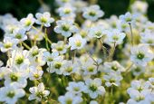 picture of musky  - A Musky Saxifrage  - JPG