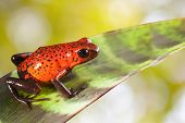 pic of pet frog  - red poison strawberry frog on leaf in tropical jungle of Panama and Costa Rica - JPG
