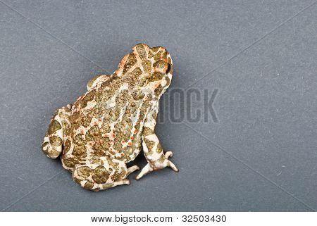 Bufo viridis. Green toad on gray background. Studio shot.