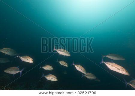 rotem Makrelen im Roten Meer.