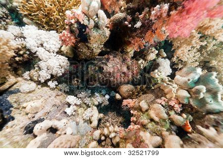 Stonefish (synanceia verrucosa) in the Red Sea.