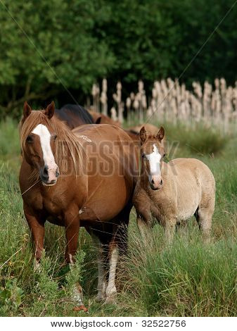Welsh Mare And Foal