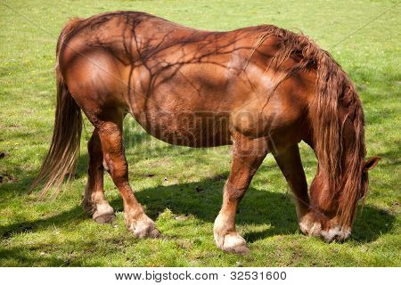 Shire Horse Grazing