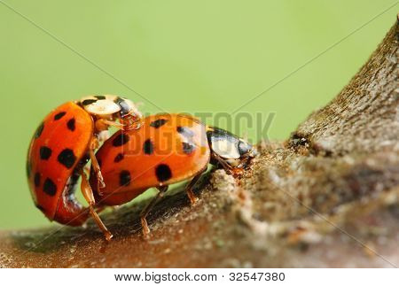 The seven-spotted ladybug (Coccinella septempunctata). Lovemaking ladybugs couple. Extremely close up with shallow DOF.