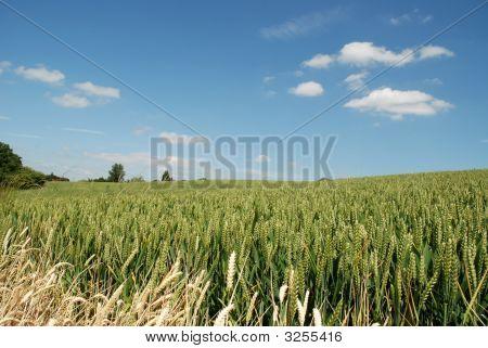 Cornfields With Trees On The Horizon