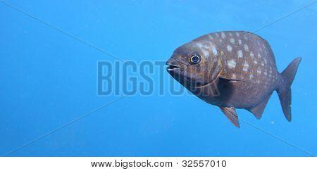 Unterwasser Shooting eine lustige Fisch mit offenem Mund Schönung im klaren blauen Wasser