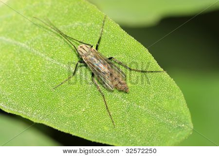 Diptera Chironomidae Insects On Green Leaf