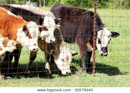 Calves looking out the fence