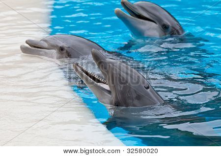 Bootle Nose Dolphins