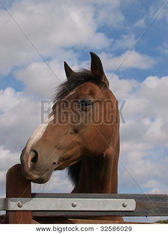 Bay Horse Head Shot Against A Blue Sky