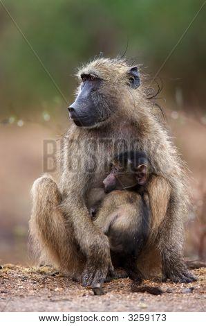 Babuinos chacma con niño