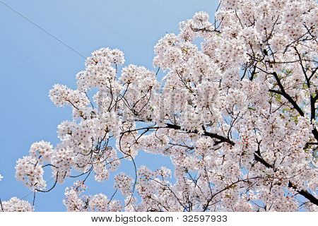 Beautiful Branch Of Blooming Cherry