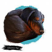 Smalandsstovare Smaland Dog Swedish Breed Of Dog Digital Art. Watercolor Portrait Of Pet Muzzle Clos poster