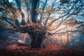 Old Magical Tree With Big Branches And Orange Leaves In Blue Fog In Rain. Autumn Colors. Mystical Fo poster