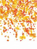 Oak, Maple, Wild Ash Rowan Leaves Vector, Autumn Foliage On White Background. Red Gold Yellow Sorbus poster