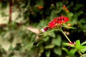 Broad - Tailed Hummingbird  (Selasphorus Platycercus) Collecting Nectar