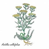 Hand Drawn Colored Bush Of Common Yarrow Placed On The White Background. Herbal With Latin Name Achi poster