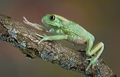 picture of nocturnal animal  - A giant waxy monkey tree frog is climbing over a branch - JPG