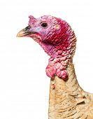 Close up of, Domestic chicken against white background poster