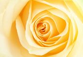 image of yellow rose  - Yellow rose petals - JPG