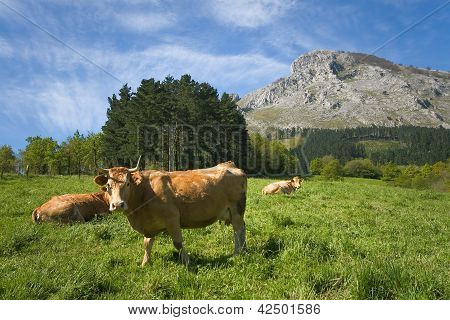 Cows Grazing, Abadino, Bizkaia, Basque Country, Spain