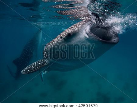 Underwater shoot of a gigantic whale sharks ( Rhincodon typus) feeding near surface