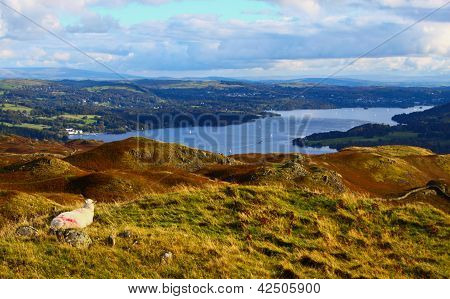 Sheep overlooking Windermere