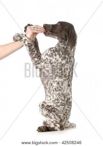 puppy begging - german shorthair pointer begging for treats isolated on white background