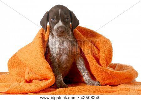 dog bath - german shorthaired pointer getting dried off by orange towel