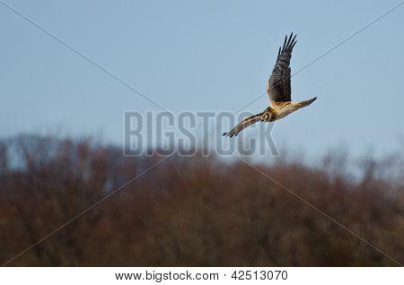 Northern Harrier voando sobre o pântano