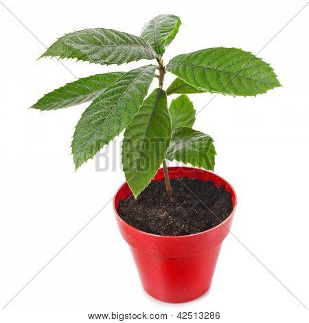 Loquat Medlar Seedling Tree in Red Pot isolated on a white background