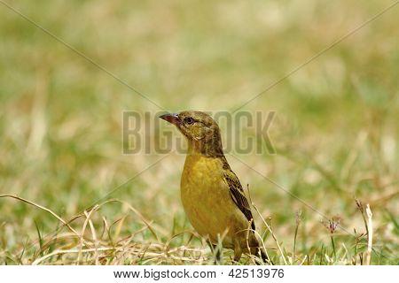Alert Sparrow