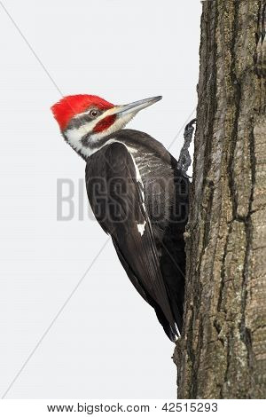 Pileated Woodpecker On An Oak Tree