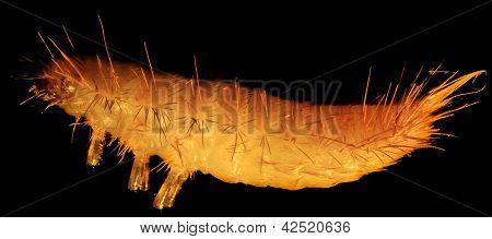Grain Moth Caterpillar Under The Microscope (tineola Granella L.)