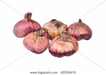 Gladiolus flower bulb