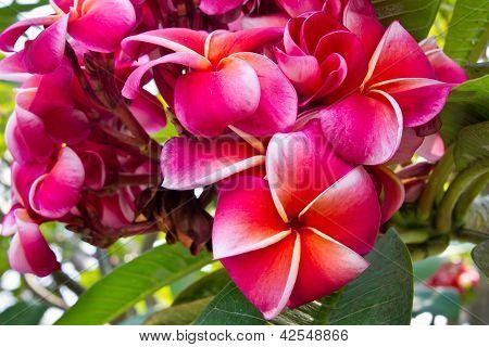 Plumeria flower, Frangipani