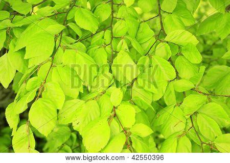 Common Beech  (Fagus sylvatica)