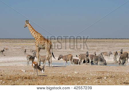 Giraffe, Springbok And Zebras