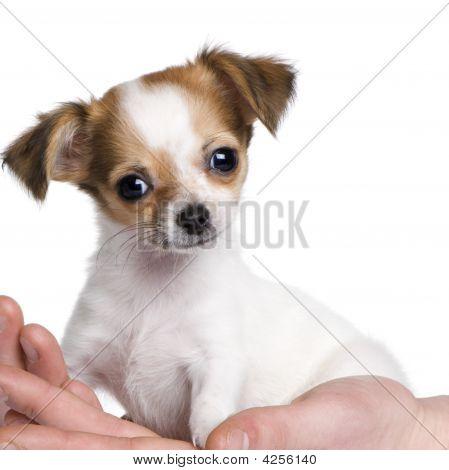 Cachorro chihuahua na mão (3 traça)