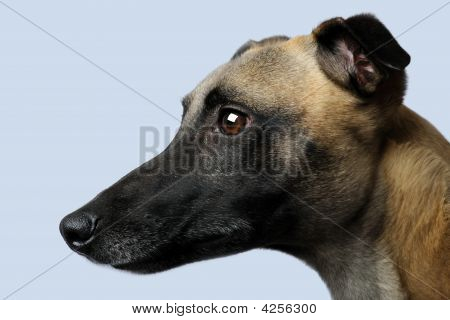 Whippet (1 Year)