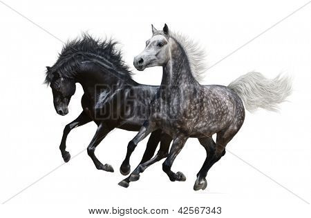 Two horses gallop - isolated on white