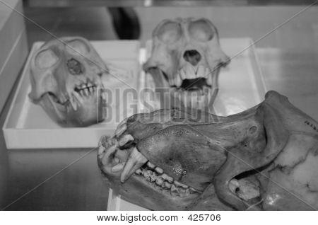 Monkey Skulls Bw