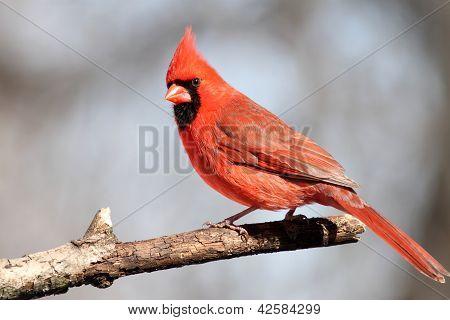 Cardinal posing