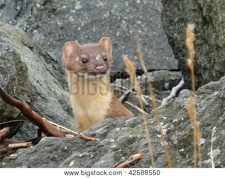 Long-Tailed Weasel Among Boulders
