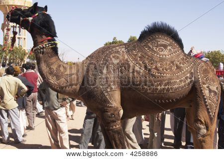 Camel With Shaved Coat
