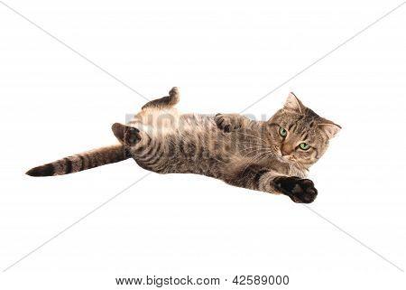 Kitten Playing On Back