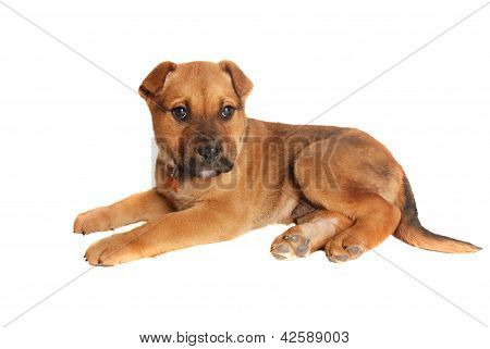 Tan Puppy Laying Down